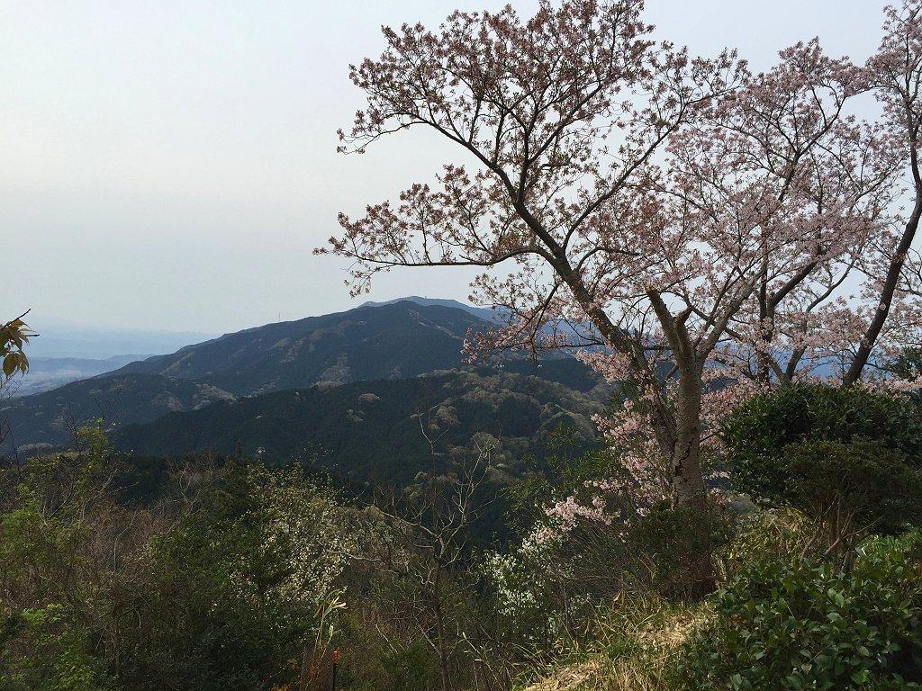 桜とバックに大和葛城山