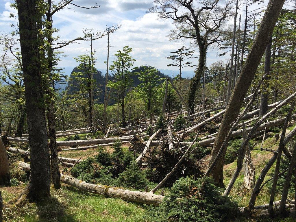 トラバースが終わり尾根にのると倒木地帯
