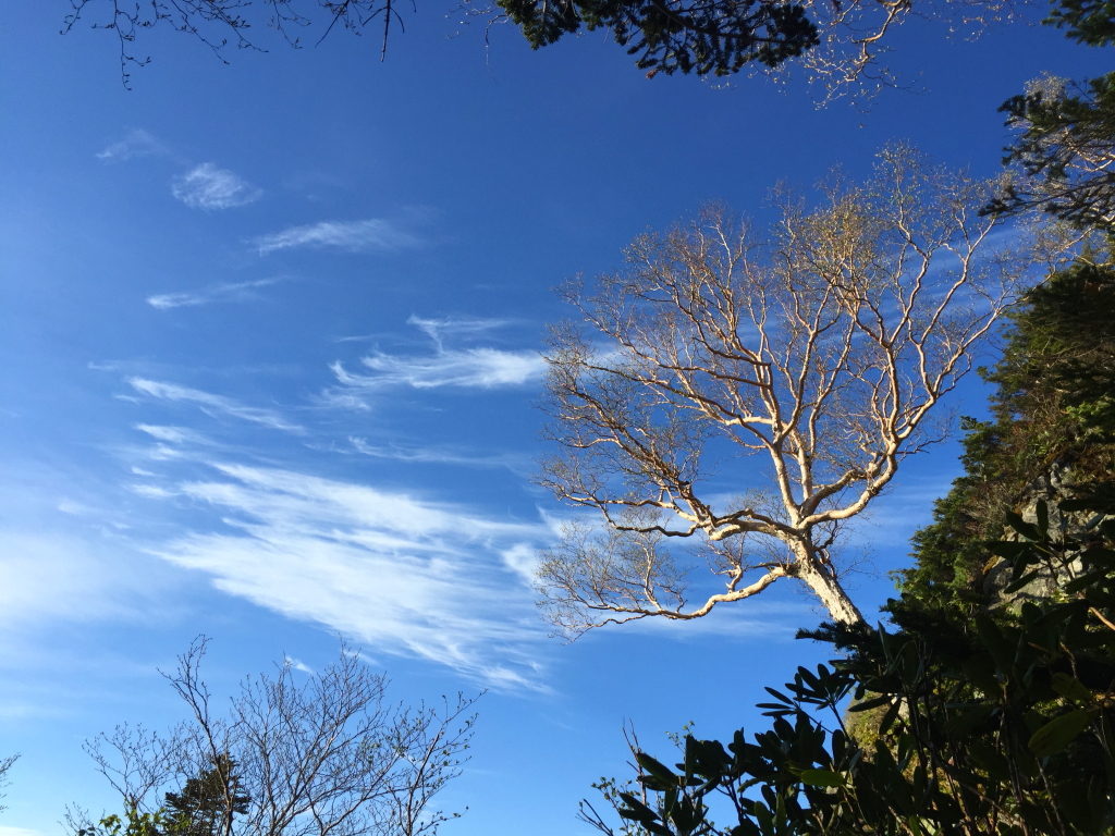 標高2415m付近。ここで休憩 白樺?と青空と雲のコラボが美しかった。