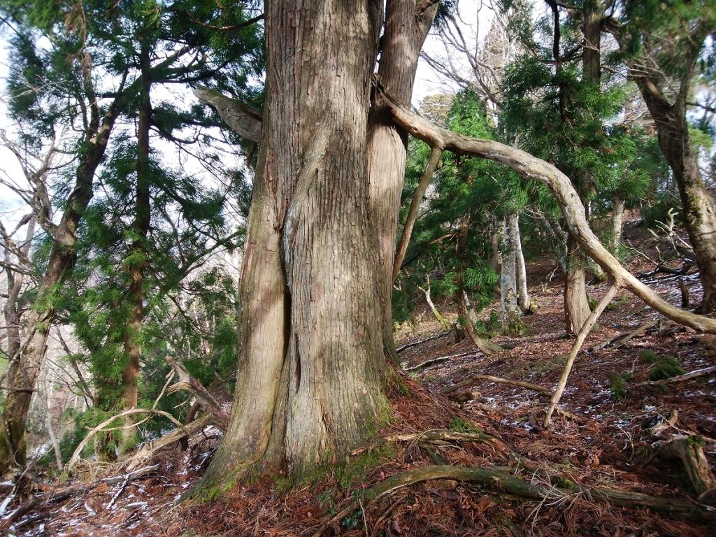 巨木がでてきた