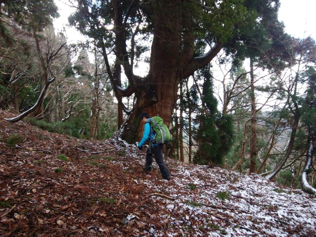 巨木を横に歩く田村君