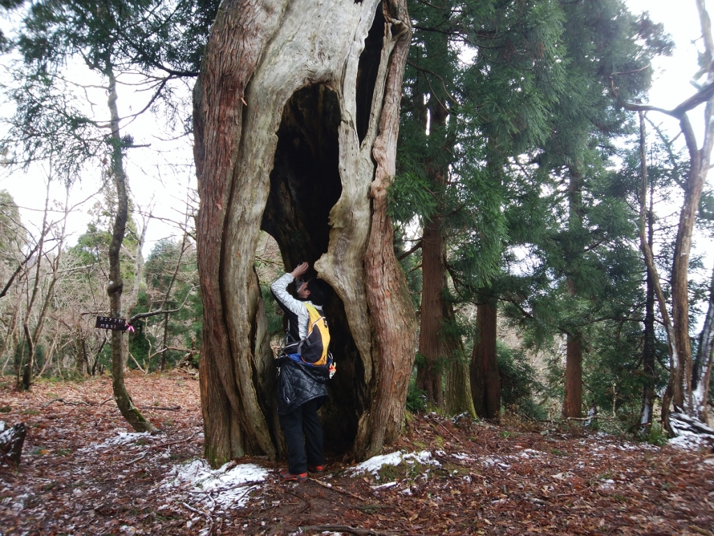 カミナリ杉に到着、ひでぶーさんをモデルにして撮影