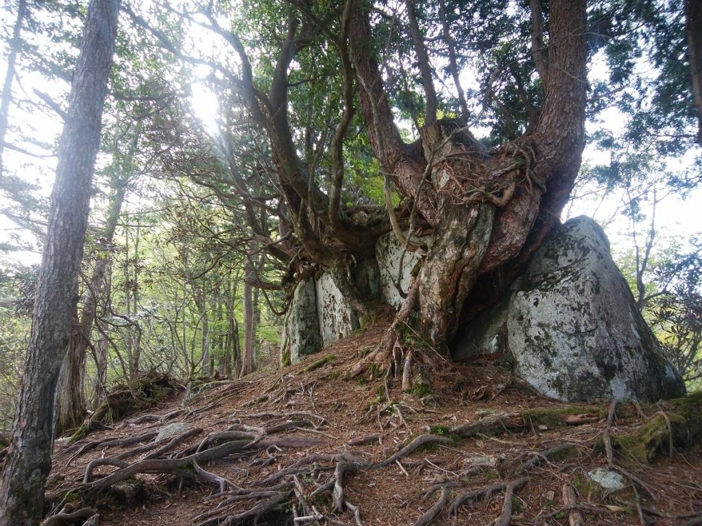 大峰らしい巨木