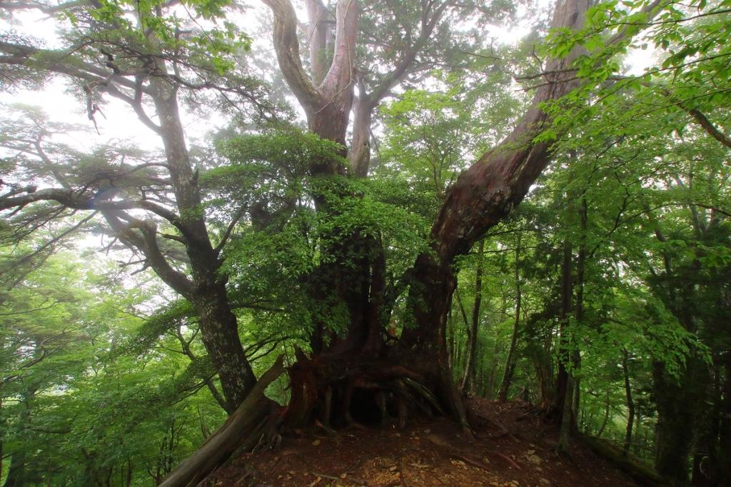 ちょっとガスってきて巨木もこの通り